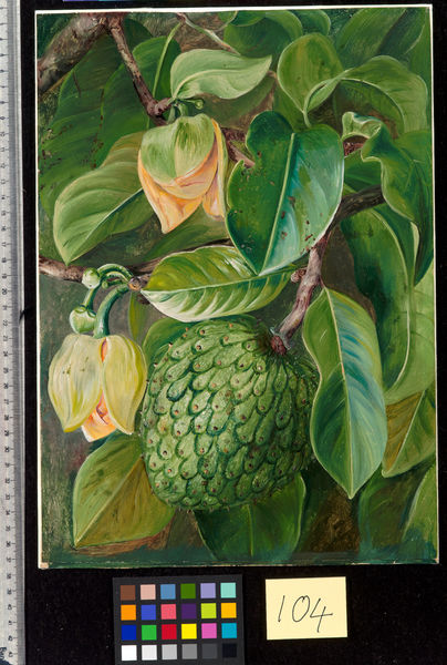 104. Foliage, Flowers, and Fruit of the Soursop, Brazil.. © RBG KEW