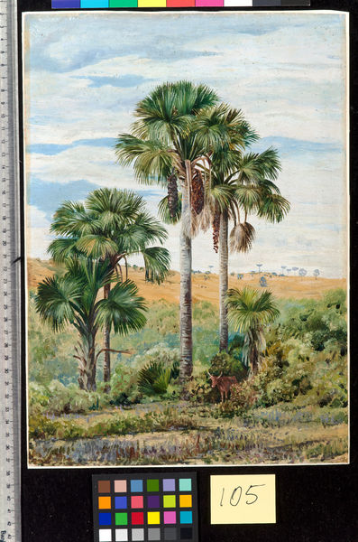 105. Buriti Palms with old Araucaria trees on the distant. © RBG KEW