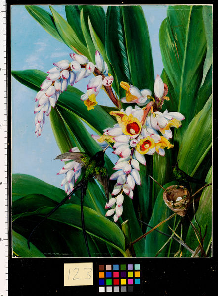 123. Foliage and Flowers of Alpinia nutans, and a pair of Doctor. © RBG KEW