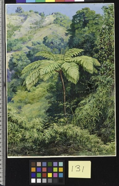 "131. Tree Fern and ""Whish-whish"" in the Punch Bowl Valley, Jamai 131. Tree Fern and ""Whish-whish"" in the Punch Bowl Valley, Jamai. © RBG KEW"