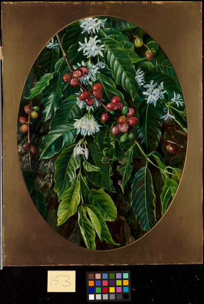 153. Foliage, flowers, and fruit of the Coffee, Jamaica.. © RBG KEW