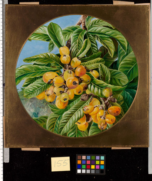 155. Foliage and Fruit of the Loquat, or Japanese Medlar, Bra. © RBG KEW