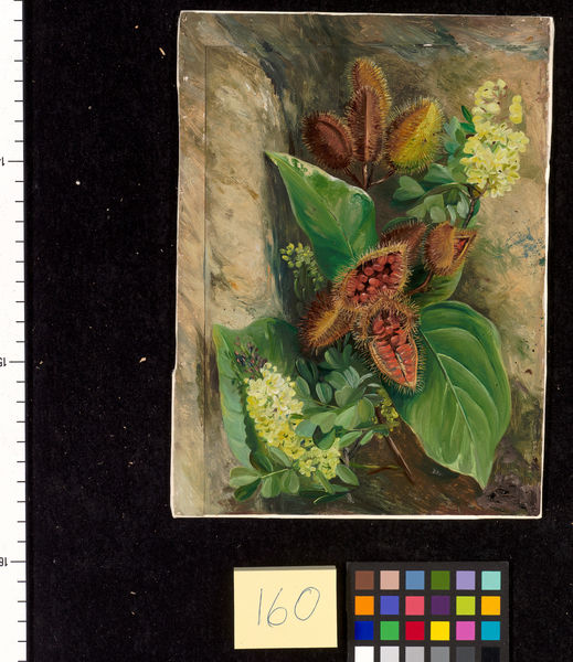 160. Foliage and Fruit of Arnatto and Foliage and J'lowers of. © RBG KEW