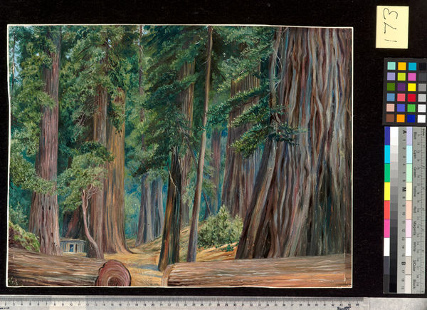 173. Under the Redwood Trees at Goerneville, California.. © RBG KEW