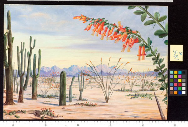 185. Vegetation of the Desert of Arizona.. © RBG KEW