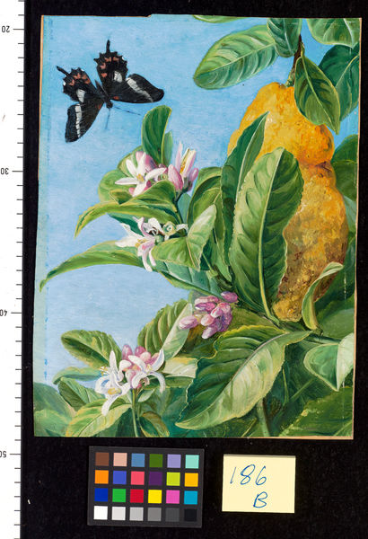186. Foliage, Flowers and Fruit of the Citron, and Butterfly. © RBG KEW