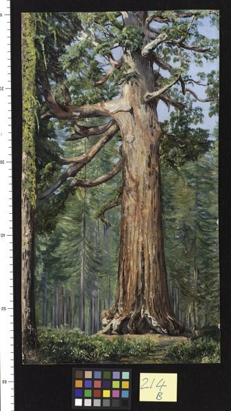 "214. The ""Great Grisly"" Big Tree of the Mariposa Grove. 214. The ""Great Grisly"" Big Tree of the Mariposa Grove.. © RBG KEW"