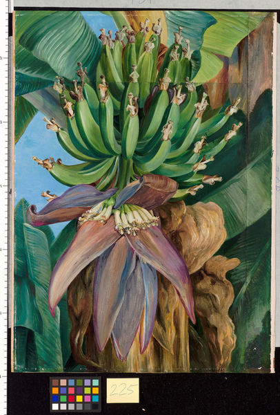 225. Flowers and Young Fruit of the Chinese Banana.. © RBG KEW