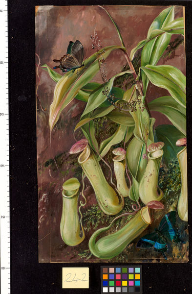 242. Ceylon Pitcher Plant and Butterflies.. © RBG KEW