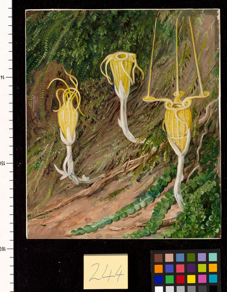 244. Singular Plants of the Dark Forests of Singapore and Borneo. © RBG KEW