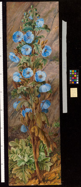 252. Blue Poppy growing on Mt. Tonglo, Sikkim-Himalaya.. © RBG KEW
