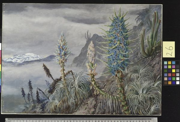 26. The Blue Puya and Cactus at home in the Cordilleras, near Ap. © RBG KEW