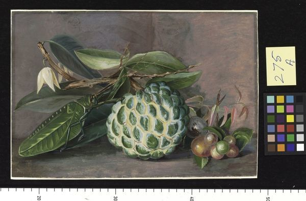 "275. Custard Apple, Native ""Gooseberry'' of Sarawak, and Leaf Lo 275. Custard Apple, Native ""Gooseberry'' of Sarawak, and Leaf Lo. © RBG KEW"
