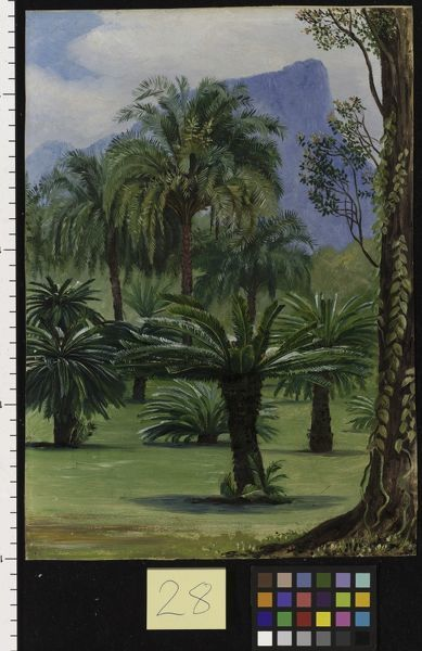 28. Group of Sago-yielding Cycads in the Botanic Garden at Rio J. © RBG KEW