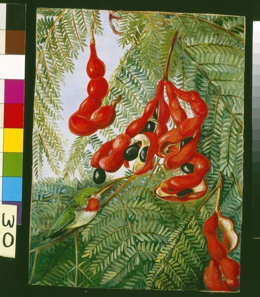 30. The Wild Tamarind of Jamaica with scarlet Pod and Barbet.. © RBG KEW