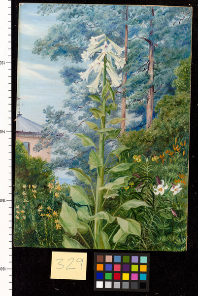 329. The Giant and other Lilies in Dr. Allman's Garden at Parkst. © RBG KEW