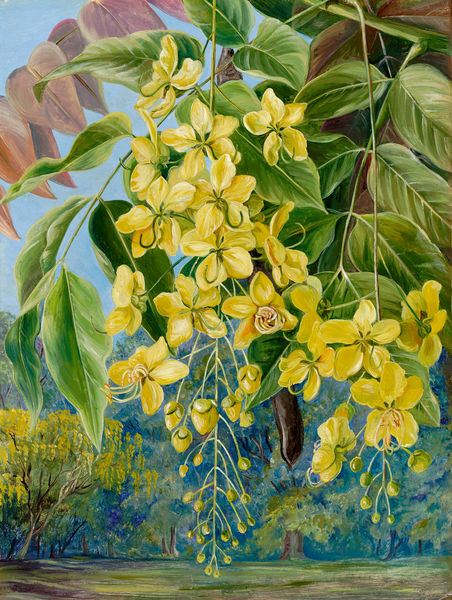 336. Foliage and Flowers and a Pod of the Amaltas or Indian Laburnum.. © RBG KEW