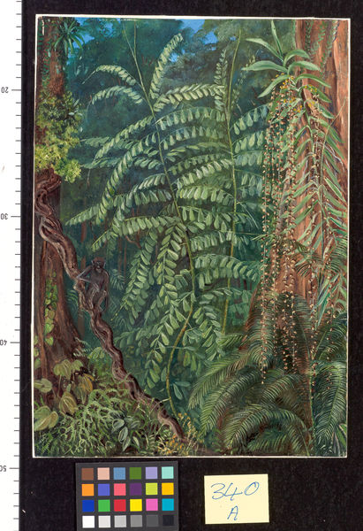 340. Vegetation and 0urang-Outang in forest of Mattanga, Borneo.. © RBG KEW