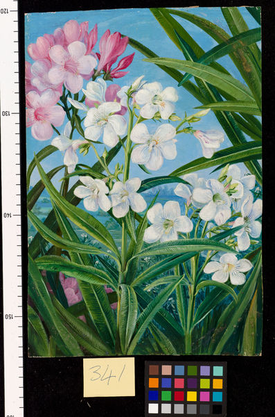 341. The Oleander.. © RBG KEW