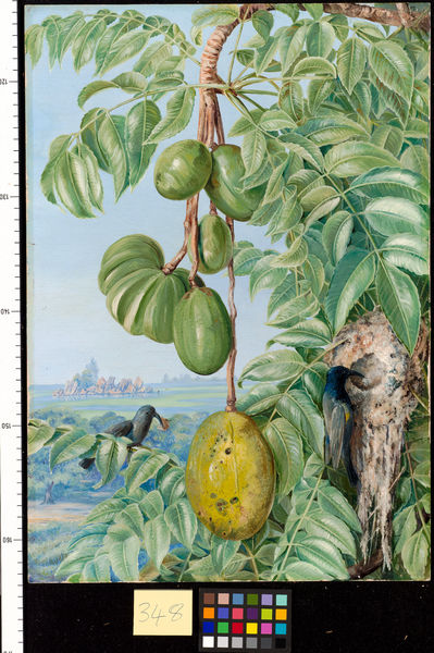 348. Fruit de Cythere and Sugar Birds and Nest, Seychelles.. © RBG KEW