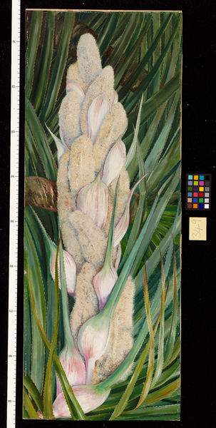 349. Male Inflorescence and Foliage of a Screw Pine, Natal.. © RBG KEW