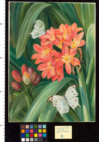 352. Clivia miniata and Moths, Natal.. © RBG KEW