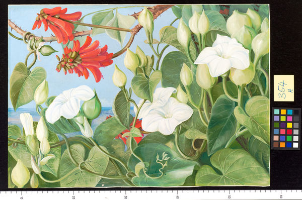 354. White Convolvulus and Kaffirboom, painted at Durban, Natal. © RBG KEW