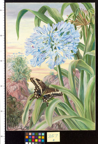 357. Blue Lily and large Butterfly, Natal.. © RBG KEW