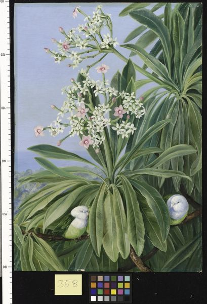 358. Ordeal Plant or Tanghin and Parokeets of Madagasear.. © RBG KEW
