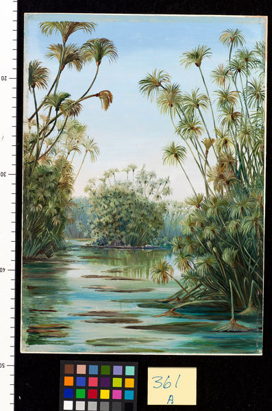 361. Papyrus or Paper Reed growing in the Ciane, Sicily.. © RBG KEW