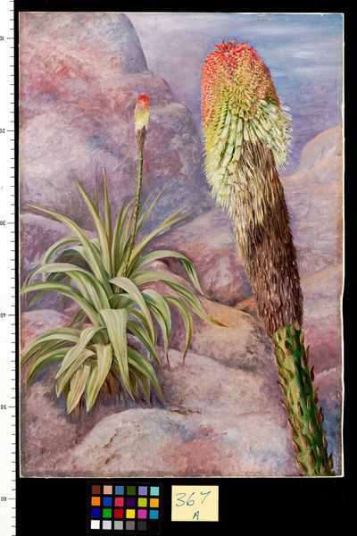 367. A. Giant Kniphofia near Grahamstown.. © RBG KEW