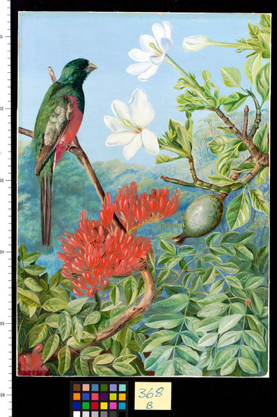 368. Two Flowering Shrubs of: Natal and a Trogon.. © RBG KEW