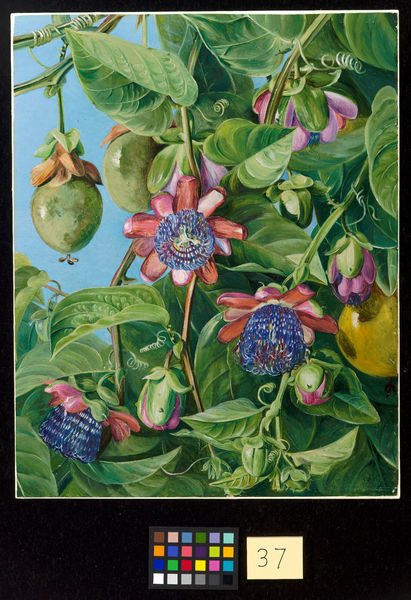 37. Flowers and Fruit of the Maricojas Passion Flower, Brazil.. © RBG KEW