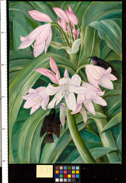 377. Crinum Moorei and Honeysuckers, Bashi River, South Africa.. © RBG KEW