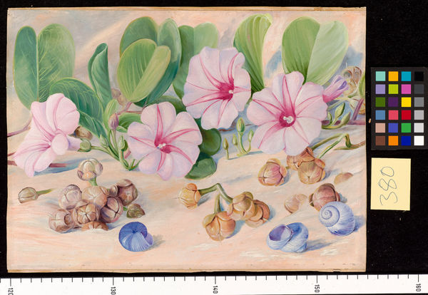 380. A common Plant on sandy sea-shores in the Tropics.. © RBG KEW