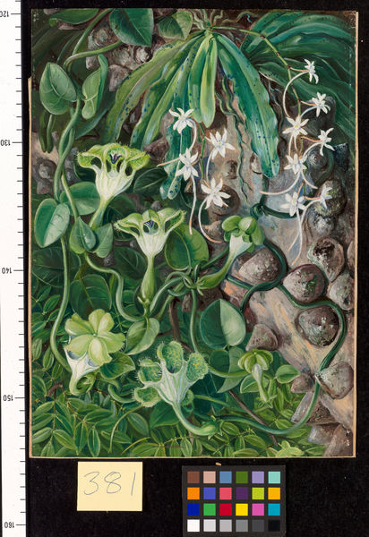 381. The Knobwood and Flowers of Natal.. © RBG KEW