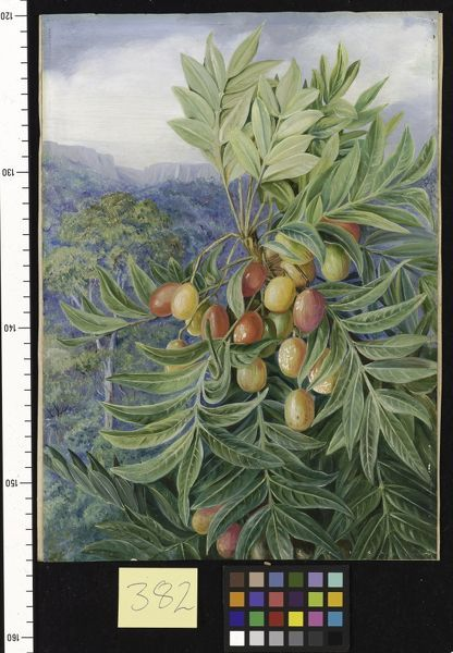 382. The Kaffir Plum, painted in the Perie Bush, South Africa.. © RBG KEW