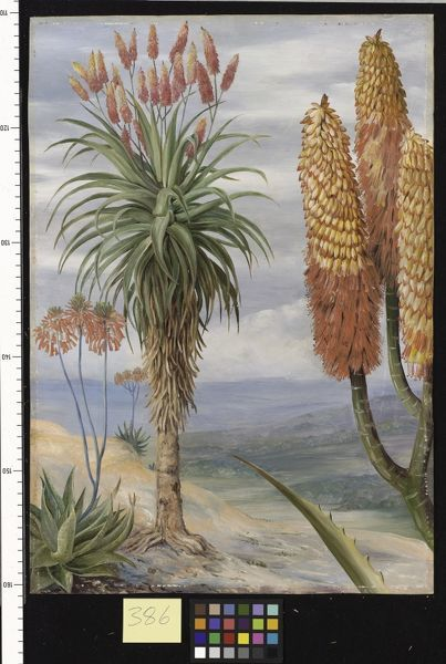 386. Aloes at Natal.. © RBG KEW