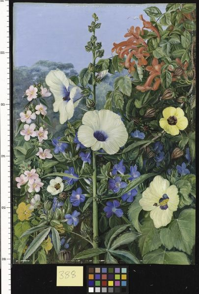 388. Various species of Hibiscus, with Tecoma and Barleria, Nata. © RBG KEW