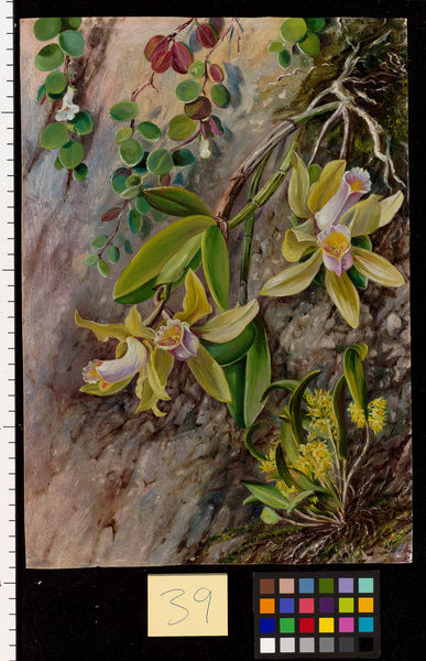 39. Orchids and Creeper on Water-worn Boulders in the Bay of Rio. © RBG KEW