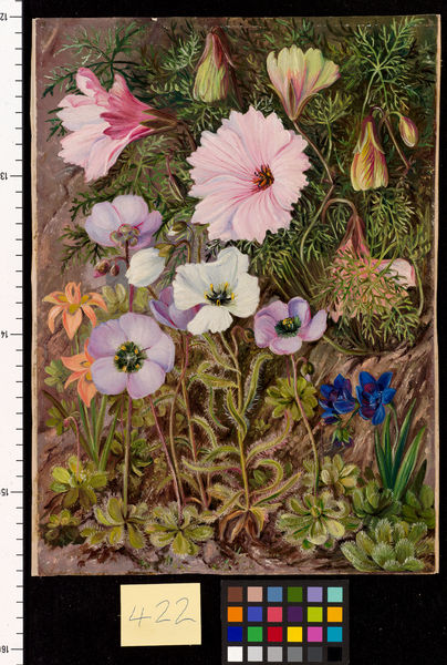 422. south African Sundews and other Flowers.. © RBG KEW