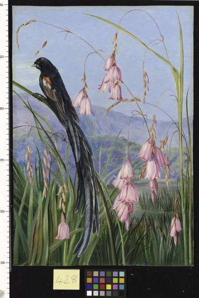 428. Pendulous Sparaxis and Long-tailed Finch in Van Staaden's K. © RBG KEW