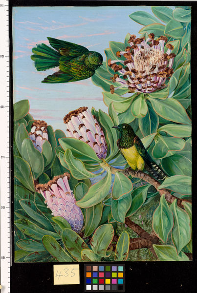 435. Protea and Golden-breasted Cuckoo, of South Africa.. © RBG KEW