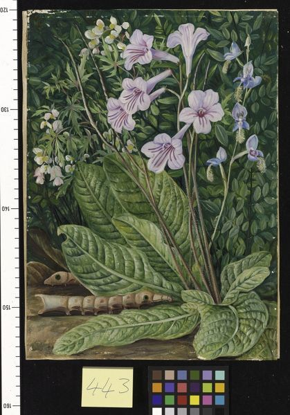 443. South African Flowers, and Snake - headed Cater pillars.. © RBG KEW