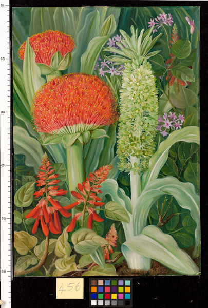 456. Haemanthus and other South African Flowers.. © RBG KEW