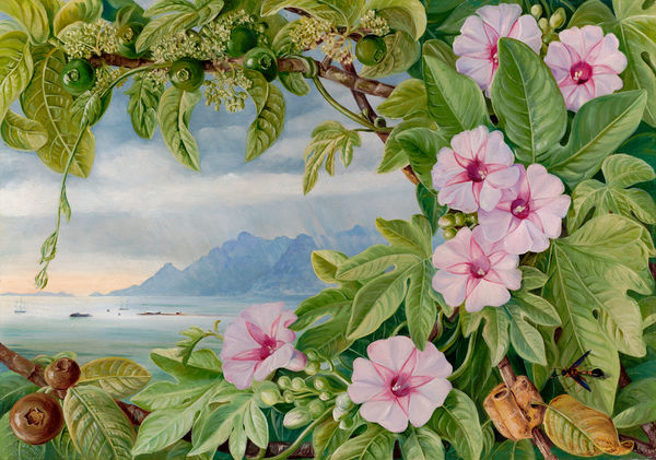 460. Ipomoea and Vavangue with Mahe Harbour in the distance.. © RBG KEW