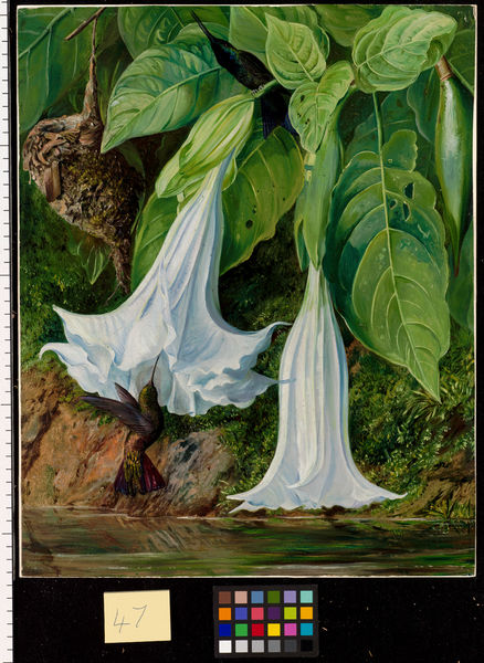 47. Flowers of Datura and Humming Birds, Brazil.. © RBG KEW