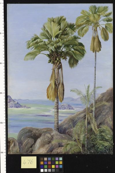 476. Male and Female Trees of the Coco de Mer in Praslin.. © RBG KEW
