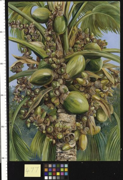 477. Female Coco de Mer bearing Fruit covered with small Green L. © RBG KEW
