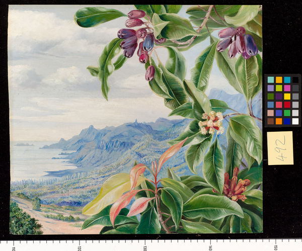 492. The Clove in fruit, and view over Mahe, Seychelles.. © RBG KEW